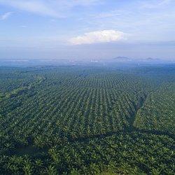 uprawa palmy olejowej